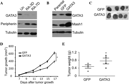 Effect of GATA3 overexpression on the tumorigenicity of neuroblastoma cells. (A) Western blot analysis of GATA3 and peripherin expression in SK-N-SH cells treated with RA or DMSO. (B) Western blot analysis of GATA3 and Mash1 expression in SK-N-SH cells with GFP or GATA3 overexpression. α-tubulin levels were used as a loading control. (C) Tumor growth in NOD/SCID mice injected with indicated SK-N-SH cells. (D) Scatter plot of xenograft tumor weight with horizontal lines indicating the mean per group. (E) Xenograft tumor volume was measured using calipers. *P≤0.05. Scale bar=5 cm. GFP, green fluorescent protein; Un, untreated; RA-3D/RA-7D, three and seven days, respectively, following retinoic acid administration.