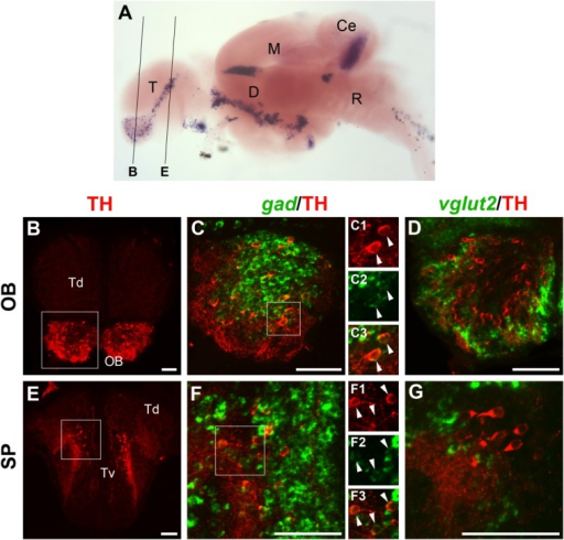 Localization of gad1b/2- or vglut2-expressing cells and TH-ir neurons in the telencephalon of the juvenile brain. A: Lateral overview of a juvenile brain stained for th by in situ hybridization (image taken from Filippi et al., 2010), which serves as anatomical reference to indicate the levels of the sections shown in B–G. B–G: Fluorescent in situ hybridization to detect gad1b/2 (C,F; green) or vglut2 (D,G; green) expression combined with anti-TH immunofluorescence (red). In each row, the image at the left shows an overview of the considered section and displays only TH immunostaining. Higher magnifications of the approximate area framed by the white square are shown to the right, together with either gad1b/2 (C,F) or vglut2 (D,G) staining. All images are 6–10-μm confocal z-projections of areas comprising TH-ir cells in the olfactory bulb (OB; B–D) and in the subpallium (SP; E-G). All telencephalic THir neurons express gad1b/2 (C,F) but not vglut2 (D,G), indicating that they are GABAergic. To better display the colocalization of the markers, C1–C3 and F1–F3 show the individual channels of the areas framed in C and F, respectively. For abbreviations, see list. A magenta–green copy of this figure is available as Supporting Information Figure S3. Scale bar = 50 μm in B–G.