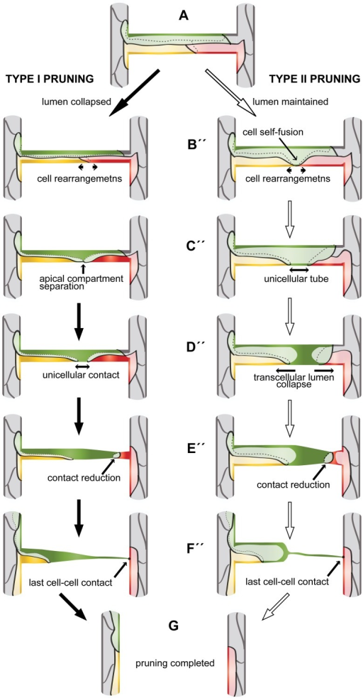 "Two cellular models of vascular pruning.A pruning branch is initially a multicellular tube (A). The cellular rearrangements to follow depend on collapse or maintenance of lumen at this stage (pruning type I or II, respectively). If the lumen collapses before cell rearrangements (type I pruning, B'), cell rearrangements lead to formation of a unicellular connection (C'–D'). The last linking cell regresses (E') and completely resolves the last connection (F') to complete the pruning process (G). If the lumen is maintained, cell rearrangements lead most cells out of the branch (B'', arrows) and force the remaining cell to undergo self-fusion and form a unicellular tube (C"", arrow). Transcellular lumen collapses in the unicellular tube, forming two separate luminal compartments (D"", arrows). The last cell reduces its contact to one of the major branches (E"") and eventually the last contact (F"") is resolved and pruning is complete (G). See also S6 Fig."