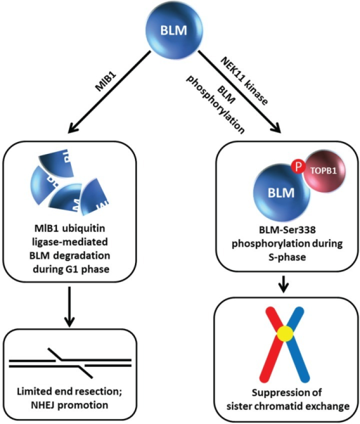 MlB1 ubiquitin ligase and NEK11 kinase influence BLM stability which has outcomes for non-homologous end-joining and suppression of sister chromatid exchange. Certain aspects of this model are debated. See text for details.