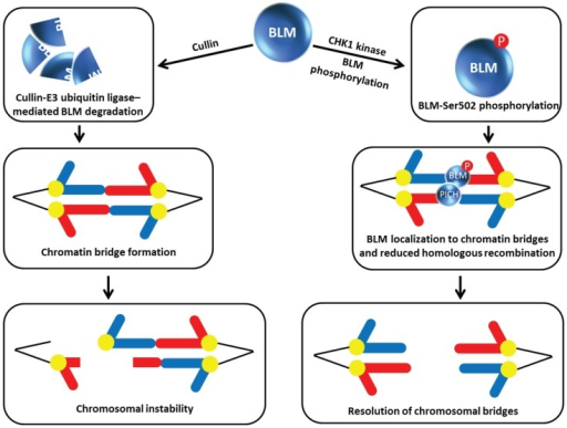 Chk1 phosphorylation of BLM prevents its degradation by Cullin E3 ubiquitin ligase, enabling BLM to collaborate with PICH and resolve chromosomal bridges. See text for details.
