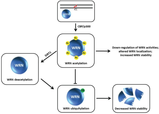 Werner syndrome helicase-nuclease (WRN) acetylation affects its stability, catalytic functions, and subcellular localization. See text for details.