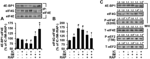 eIF4F formation is enhanced by immobilization in a rapamycin-sensitive manner, but not further enhanced by isometric contractions. Mice were treated as in Fig. 3 and pre-cleared homogenates from EDL muscles were subjected to immunoprecipitation (IP) of eIF4E followed by western blot analysis for 4E-BP1, eIF4G and eIF4E to obtain the ratio of (A) 4E-BP1:eIF4E and (B) eIF4G:eIF4E. (C) Whole homogenates (WH) were subjected to western blot analysis for the total (T) and phosphorylated (P) forms of various proteins. All values were expressed relative to the values obtained in the IC−/IM−/RAP− group and presented as the mean (+s.e.m. in graphs, n=3-6 muscles per group). * versus the drug- and mobility-matched IC− groups, # versus the contraction-matched IM−/RAP− groups, † versus the contraction-matched IM+/RAP− groups, P≤0.05. IC, isometric contractions; IM, immobilization; RAP, rapamycin.