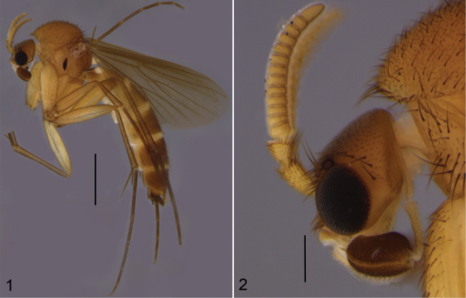 Cordylamonticola sp. n. 1 male habitus 2 head with antennae and maxillary palpi, closer view. Scale bars: 1 mm (1) and 0.2 mm (2).