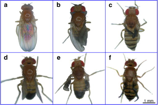 The mutant phenotypes of D. melanogaster with HHP induction.(a) D. melanogaster in the absence of HHP treatment. Normally, the wing is oval shaped, with a length twice that of the abdomen, normal shape and established margin. (b–f) HHP-induced mutants show wing degradation and obvious modifications in wing size, shape, and margin formation.