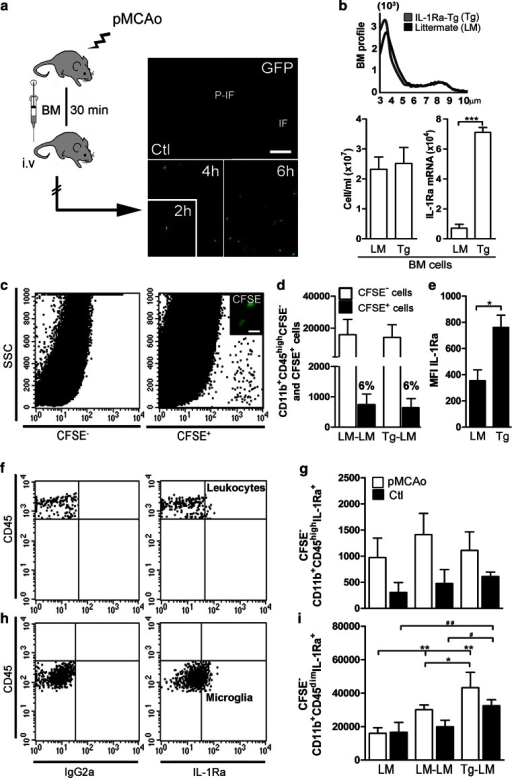IL-1Ra-overproducing BM cells stimulate microglial production of IL-1Ra. a GFP+ BM cells in the cortex of C57BL/6 mice 2, 4 and 6 h after pMCAo, but not in non-lesioned controls (Ctl). b BM profiles, cells numbers and IL-1Ra mRNA expression in BM from IL-1Ra-Tg (Tg) and LM mice. cDot plots showing flow cytometric profiles of CFSE+ BM cells 6 h after pMCAo (5.5 h after BM transplantation). d Infiltrating CFSE+ BM cells and CFSE− CD11b+CD45high leukocytes in LM–LM and Tg–LM mice 6 h after pMCAo. e MFI of IL-1Ra in gated CFSE+ BM cells 6 h after pMCAo, the CFSE+ BM cells originated from LM and IL-1Ra-Tg (Tg) donor mice. f–iDot plots showing flow cytometric profiles with isotype quadrants (f, h) and quantification of IL-1Ra+ CD11b+CD45highCFSE− leukocytes (g) and IL-1Ra+ CD11b+CD45dimCFSE− microglia (i) in LM, LM–LM and Tg–LM 6 h after pMCAo. Statistical data are presented as mean ± SD, n = 4/group (Kruskal–Wallis test with Dunns post hoc test), *#P < 0.05, **##P < 0.01. Scale bar 100 µm (a) and 10 µm (c)