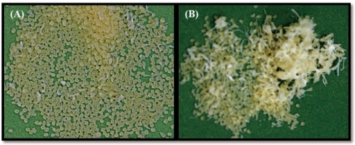 Photo images of alginate beads formed at different stirring rates.The stirring rate set at 150 rpm (A) and 500 rpm (B).