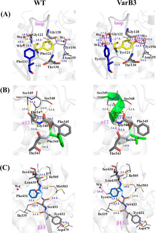 Model structures of WT and the VarB3 mutant (F344I/F434Y/F133Y/F121Y) based on PDB: 1CRL.(A) Comparison of the structural changes in the loop region from 120 to 136 which included the mutant position 121 and 133. (B) Comparison of α12 structural changes around mutant position 344. (C) Intramolecular interactions near mutant position 434 in WT and VarB3 mutant. The new generated hydrogen bonds are indicated by purple lines and other hydrogen bonds are represented by yellow dashed lines. Symbols: red, oxygen atom; blue, nitrogen atom.