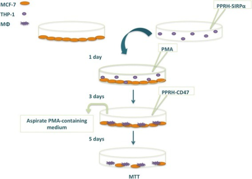 Schematic representation of co-culture experiments. MCF-7 and THP-1 cells were plated in separate dishes and THP-1 cells were immediately transfected with PPRHs against SIRPα. After 24 h, transfected THP-1 cells were added to MCF-7 cells and differentiated to macrophages with PMA for 3 days. After that period of time, the medium was replaced with fresh F12 medium and PPRHs against CD47 were transfected. Cell viability (MTT) assay was assessed 5 days after the last transfection