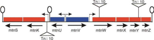 Location of transposon (Tn10) insertions in the mtn region. One insertion was localized 73 bp upstream of the translational start point of the mtnK gene [6], four were located into mtnW and six into the mtnY gene. The insertion situated 353 bp downstream of the mtnW translation start point (strain BSHP7064) and one situated 556 bp downstream of the mtnY translation start point (strain BSHP7065) are shown in the figure.