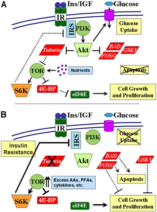 Model of the PI3K–Akt–TSC–TOR pathway and feedback regulation of insulin/IGF-I signaling. (A) Under normal conditions, insulin/IGF-I engagement of the insulin or IGF-I receptor (IR) leads to Tyr phosphorylation of IRS proteins and subsequent recruitment and activation of PI3K. PI3K activity leads to activation of Akt, which phosphorylates and inhibits many downstream substrates, including BAD, FOXO transcription factors, GSK3, and tuberin (TSC2). Through these and other targets, Akt activity stimulates glucose uptake and cell growth and proliferation, and inhibits apoptosis. Akt-directed phosphorylation of tuberin relieves its inhibition of TOR, via activation of the small G protein Rheb (not depicted). TOR activation by this pathway requires the presence of nutrients and results in activation of S6K and inhibition of 4E-BP1. S6K phosphorylates the ribosomal S6 protein (not depicted) and can feedback and inhibit IRS proteins (see S6K1: closing the loop section for details). Inhibition of 4E-BP1 relieves its inhibition of the translation initiation factor eIF4E. (B) Under atypical conditions of constitutive TOR activation, arising from chronic insulin/IGF-I exposure, excess nutrients (e.g., amino acids [AAs] and free fatty acids [FFAs]), inflammatory cytokines, or genetic loss of specific tumor suppressor genes, such as TSC2 (encoding tuberin), aberrantly high S6K activity shuts down insulin/IGF-I signaling. Therefore, although this unregulated TOR activity leads to constitutive eIF4E activation, it leads to insulin/IGF-I resistance through down-regulation of IRS protein function. This feedback inhibition prevents Akt-mediated glucose uptake and regulation of its downstream substrates. Dashed versus solid lines represent hypothetical signal strength.