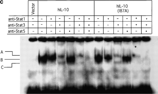 (a) Induction of MHC class I antigen expression by IL-10. The 16-9 CHO cell lines expressing an HLA-B7 reporter construct and hIL-10R1/hIFN-γR1 chimera and/or hIL-10R2 were exposed to control or COS cell supernatants (10%) containing hIL-10 or hIL-10(I87A) for 72 h and stained for HLA-B7. Open histograms represent negative controls; shaded histograms represent treated groups. (b) Induction of Stat1 activation by IL-10. The 16-9 cells expressing hIL-10R1/hIFN-γR1 chimera plus hIL-10R2 were exposed to COS supernatants (100%) for 15 min, the cells were lysed, and nuclear extracts were obtained for binding to 32P-labeled 22-bp IFN-γ activation sequence (GAS) from human IFN-γ regulatory factor 1 (hIRF-1). Only anti-Stat1 but not anti-Stat3 caused supershifting of the complex. (c) Induction of Stat1, Stat3, and Stat5 activation by IL-10. Ba/F3-mIL-10R1 cells were exposed to COS supernatants (100%) for 15 min, and the EMSAs were performed using a 32P-labeled 22-bp IFN-γ response region (GRR) probe.
