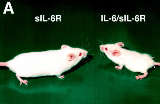 Weight abnormalities in IL-6–sIL-6R mice. (A) An IL-6– sIL-6R double-transgenic mouse on the right side and a sIL-6R singletransgenic mouse on the left side at the age of 8 wk. (B) Total body  weight recorded of IL-6–sIL-6R mice, of single-transgenic mice, and of  nontransgenic littermates.
