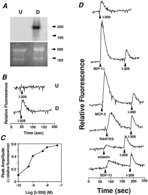 An HL-60 clone 15  cell line model of endogenous  CCR8 expression and function.  HL-60 clone 15 cells were cultured for 6 d in the presence of  butyric acid 0.5 μM and for the  final 4 d in the presence of IL-5  10 ng/ml, which induces differentiation to an eosinophilic phenotype. (A) CCR8 mRNA expression. A Northern blot  containing 10 μg total RNA  from undifferentiated (U) and  differentiated (D) cells was hybridized with a CCR8 ORF  probe (top) and washed under  high stringency conditions. The  blot was then exposed to x-ray  film using an intensifying screen  for 20 h. The corresponding region of the ethidium bromide– stained gel is shown in the lower  panel. (B) Calcium flux response  to I-309. Fura-2–loaded undifferentiated (top tracing, U) and  differentiated (lower tracing, D)  cells were stimulated with I-309  50 nM. (C) Potency of I-309 for  calcium flux. Data are from a  single experiment representative  of three separate experiments.  (D) Distinct receptor usage by  I-309 and other CC chemokines.  Differentiated cells were stimulated with the indicated chemokines 50 nM and Fura-2 fluoresence was monitored.