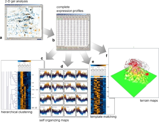 By using a consensus spot pattern in Delta2D (a), complete expression profiles (b) are generated. Profiles can be imported into DNA array analysis software (here: TIGR MultiExperiment Viewer, TMEV). With appropriate data transformations and normalization, many approaches for data analysis known from DNA arrays can be used for 2-D-gel-based proteome data. Hierarchical clustering (c) and self-organizing maps (d) group proteins by similarity of their expression profiles. Template matching (e) can be used to find proteins that conform to an expression pattern given by the user. Terrain maps (f) can give a high level overview of a data set where correlations of protein expression profiles are shown as distances in two dimensions, and protein density is shown in the third dimension (height)