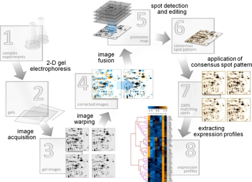 Analysis work flow of a 2-D-gel-based proteomics experiment in Delta2D. 1 Sample preparation; 2 2-D gel electrophoresis; 3 2-D gels are stained/detected and digitized; 4 spot positions are aligned across gel images by warping; 5 a proteome map/fusion gel image is generated by combining the images using a union fusion; 6 the union fusion image serves as basis for constructing the consensus spot pattern for the whole experiment; 7 the consensus spot pattern is transferred to all images and subsequently remodeled; 8 expression profiles are extracted and analyzed to find relevant proteins