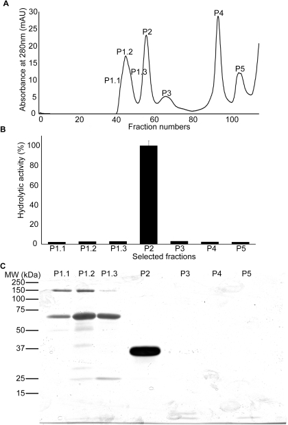 Purification of rhinocerase from rotofor separated venom fractions.A. Superdex 75 gel filtration chromatogram obtained during the elution of proteins from rotofor separated venom fractions 3 and 4. The peaks were numbered at the particular fractions which were used for analysis by SDS-PAGE and for analysis of the serine protease activity. B. 100 µl of the selected fractions shown in figure A were used to measure serine protease activity using Arg-AMC fluorescent substrate. Each bar shows the mean ± S.D. (n = 3). The hydrolytic activity measured for P2 was taken as 100%. C. 100 µl of the selected fractions indicated in figure A were analysed by SDS-PAGE (10%) and silver stained.
