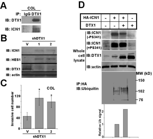 DTX1 physically interacts with ICN1 and induces ubiquitination and proteasome-mediated degradation of ICN1. (A) COL cells transduced with DTX1 or empty vector were treated with 5mM EDTA for 15 minutes to increase NOTCH1 cleavage and total ICN1 level. Immunoprecipitation (IP) of DTX1 from DTX1-transduced cells yielded both DTX1 and ICN1, as shown by immunoblot (IB). (B) Endogenous DTX1 was knocked down with either of 2 specific shRNA constructs (1) or (2); Immunoblot (IB) shows ICN1, HES1 and DTX1 protein from shRNA transduced cells compared to vector (V). (C) Histograms represent matrigel invasion of the COL cells shown in figure 1B. 1×104 COL cells with DTX1 shRNAs were seeded in each transwell and invasion was quantified after 48 hours; histograms shown the mean of three wells, and error bars show standard deviation. (*, p<0.05). (D) HA-ICN1 or DTX1, alone or in combination, were transiently overexpressed in 293T cells for 48 hours. After treatment with proteasome inhibitor PS341 (0.1μM) for 6 hours or no treatment, total cell lysates were prepared. Immunoblots (IB) of ICN1, DTX1 and actin in the whole cell extracts are shown (upper panels). After immunoprecipitation of ICN1 with anti-HA beads, ubiquitination of ICN1 was measured using anti-ubiquitin antibody (lower panel). Ubiquitination level of ICN1 was quantified by densitometry (bottom panel); histograms represent relative ubiquitination level.