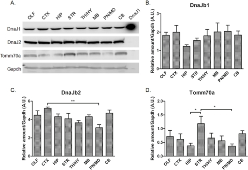 Immunoblot analysis of DnaJb1, DnaJb2, and Tomm70a.A. Immunoblots of different brain regions. Top Panel – A positive control sample for the antibody was loaded in the last late (labeled DnaJ1). Quantitation for DnaJb1, DnaJb2, and Tomm70a are shown in panels B–D, respectively.