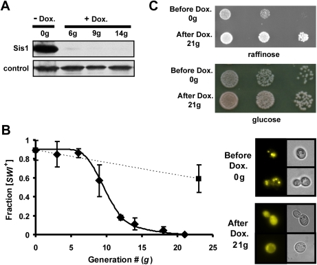 Sis1 is required for [SWI+] propagation.(A) Western blot showing doxycycline-dependent Sis1 repression. sis1-Δ [TETr-Sis1] cells in liquid culture were harvested before (−Dox., 0g) or the indicated number of generations after the addition of the drug doxycycline (+Dox.). Cell extracts were subjected to immunoblot analysis using either antibody specific for Sis1 or, as a loading control, Ssc1 (control). (B) Time course of [SWI+] loss upon repression of Sis1 expression. [SWI+] sis1-Δ [TETr-Sis1] cells were harvested after the indicated number of generations of growth in the presence (diamonds) or absence (squares) of doxycycline and plated onto glucose-based media. Following transformation of cells from individual colonies with a plasmid bearing Swi1NQ-YFP, the fraction of cells that were [SWI+] was determined by subsequent examination of Swi1 aggregation based on fluorescence (right) and plotted (left). Points represent the average of three independent experiments. Error bars represent ± σ deviation. The solid line represents a best-fit line through the averaged data. (C) Loss of [SWI+] following Sis1 depletion was also confirmed by testing for the restoration of robust growth on raffinose-based media. Serial dilutions of one representative isolate are shown above from a culture before (0g) or 21generations after addition of doxycycline (21g). A total of 24 individual colonies from each of these two time-points were assayed (Figure S1A).