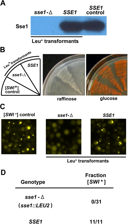 [SWI+] is cured upon deletion of SSE1.[SWI+] cells were transformed with an SSE1-deletion cassette bearing a LEU2 marker and transformants selected on media lacking leucine. (A) sse1-Δ transformants were identified by loss of Sse1 expression, as visualized by SDS-PAGE and immunoblotting using antibody specific for Sse1. Cells which received the marker but maintained Sse1 expression were classified as SSE1 transformants and used as controls in subsequent experiments. Wild-type Sse1 expression is also shown for comparison (SSE1 control) (B and C) Two representative transformants (one sse1-Δ and one SSE1) are shown along with a [SWI+] control strain. (B) sse1-Δ cells regain robust growth on raffinose indicative of [SWI+] loss. To test for [SWI+] maintenance, transformants were streaked onto raffinose- or glucose-based media and growth rates compared to control strains. (C) Loss of prion-specific fluorescent puncta in sse1-Δ cells. The presence or absence of [SWI+] in transformants was also confirmed by subsequently transforming cells with a plasmid expressing Swi1NQ-YFP and scoring for the presence of characteristic punctuate foci. (D) Summary of results for 31 sse1-Δ and 11 SSE1 transformants scored for [SWI+] maintenance using both growth on raffinose and Swi1NQ-YFP aggregation assays. The number of transformants remaining [SWI+] is reported as a fraction of the total examined (Fraction [SWI+]).