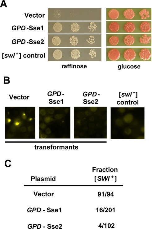 [SWI+] is destabilized by overexpression of Sse1 or Sse2.Wild-type [SWI+] cells were transformed with either empty vector or vectors expressing Sse1 or Sse2 from high copy plasmids under the control of the constitutive GPD promoter. (A and B) One representative transformant for each vector is shown. (A) Serial dilutions of individual transformants were spotted onto raffinose- and glucose-based media to test for [SWI+] loss. [SWI+] cells receiving only empty vector and [swi−] cells were used as controls. (B) [SWI+] maintenance was also monitored by transformation of the original transformants with vector expressing Swi1NQ-YFP, and subsequent fluorescence analysis. (C) Results for each vector are expressed as the fraction of the original transformants which remained [SWI+] over the total number examined (Fraction [SWI+]).