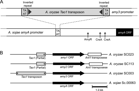 Analysis of transposons surrounding α-amylase genes in A. oryzae RIB40 and A. sojae NBRC4239. (A) Expected insertion site of A. oryzae Tao1 transposon. (B) Map of transposons surrounding A. oryzae and A. sojae α-amylase genes.