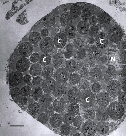 Electron micrograph of a digestive tubule cell of E. clarki.The digestive tubule cell is densely packed with sequestered chloroplasts. C = chloroplast, N = nucleus. Scale bar represents 3 µm. Image taken by Nicholas Curtis.