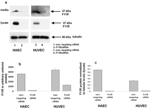 Expression of the F11R protein in inflamed endothelial cells: silencing of the F11R gene in HAEC and HUVEC using F11R siRNA. (a). Immunoblots demonstrate the detection of the F11R protein retained in cells (cell lysates) and released into the media of inflamed HAEC and HUVEC. Both aortic and umbilical vein endothelial cells were transfected with either the control, non-targeting siRNA or by the specific F11R targeting siRNA (as detailed in the Material and Methods section). Subsequently, the cells were treated with the proinflammatory cytokines TNFα (100 u/ml) and IFNγ (200 u/ml) for 24 hrs, followed by SDS-PAGE and immunoblotting utilizing F11R antibody (arrows point to F11R), and tubulin, as the protein loading control, of 50 kDa. Lanes 1 and 3 depict the F11R protein as detected in cytokine-treated HAEC or HUVEC transfected with the nontargeting siRNA. Lanes 2 and 4 depict the F11R protein as detected in cytokine-treated HAEC and HUVEC transfected with the specific targeting F11R siRNA.(b). Quantitation of immunoblots of the immunostained F11R protein, detected in the cell culture media of HAEC and HUVEC endothelial cells transfected with either the non-targeting siRNA or the specific targeting F11R siRNA, followed by the exposure of transfected HAEC and HUVEC to a combination of the proinflammatory cytokines TNFα (100 u/ml) and IFNγ (200 u/ml) for 24 hrs. The values for F11R were normalized to tubulin levels by dividing the integrated density of the specific band by the integrative density of the tubulin band. ANOVA statistical analysis was performed on the normalized values. All values are the average of three immunoblots ± SEM. (c). Quantitation of the immunostained F11R protein within the cell lysates of HAEC and HUVEC transfected with either the non-targeting siRNA or the specific targeting F11R siRNA, and further treated with the proinflammatory cytokines TNFα (100 u/ml) and IFNγ (200 u/ml) for 24 hrs. F11R-immunostained protein bands were quantified by normalization to tubulin using image J. The F11R values were normalized to tubulin. ANOVA was performed on the normalized value (n = 3). Values depict the mean ± SEM, * p < 0.005.