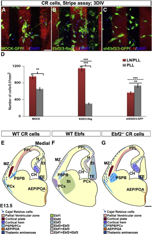 Ebfs overexpression and downregulation affect the migration of CR cells in vitro. Mock-treated cells prefer LN/PLL stripes compared to PLL only (Mock, A and D). Ebf2/3-flag overexpression increase the ability of CR cells to migrate towards LN stripes (B compared to A; D: Ebf2/3-flag, p < 0.001 LN/PLL compared to PLL; Ebf2/3-flag group compared to Mock group, p < 0.001, solid line). Ebf2/3 downregulation decreases, instead, the ability of CR cells to migrate towards LN (C compared to A and B; D: shEbf2/3-GFP group compared to Mock, p < 0.01, solid line, or compared to Ebf2/3-flag, p < 0.001, dotted line). DIV: days in vitro, LN: laminin, PLL: poly-l-lysin. Scale bar: 25 μm.