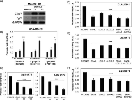 Claudin1 and Lgl2 are transcriptionally repressed by LOXL2A. RT-PCR of claudin1 and Lgl2 transcripts in the indicated cell lines. GAPDH is used as a loading control.B. Activity of claudin1 and Lgl2 promoters in parental MDA-MB-231 cells (WT) and in control shEGFP and shLOXL2 (clone C1) cells. The activity was determined as relative luciferase units (RLU) and normalized to the activity detected in WT cells for each promoter.C. Activity of the two Lgl2 promoters in HEK293T cells in the presence of the indicated amounts (ng) of LOXL2. The activity, as RLU, was normalized to that obtained in the presence of control pcDNA3 vector (100 ng).D.–F. Activity of claudin1 (D) and the two Lgl2 promoters (E, F) in the presence of the indicated expression vectors (50 ng). The activity, as RLU, was normalized to that obtained in the presence of control pcDNA3 vector (100 ng). Results in (B) to (F) represent the mean +/− s.d of three (B–D) and two (E, F) independent experiments performed in quadruple samples. (*p ≤ 0.05, **p ≤ 0.005, ***p ≤ 0.001)
