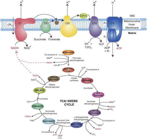 Bioenergetics of the electron transport chain and the T ...