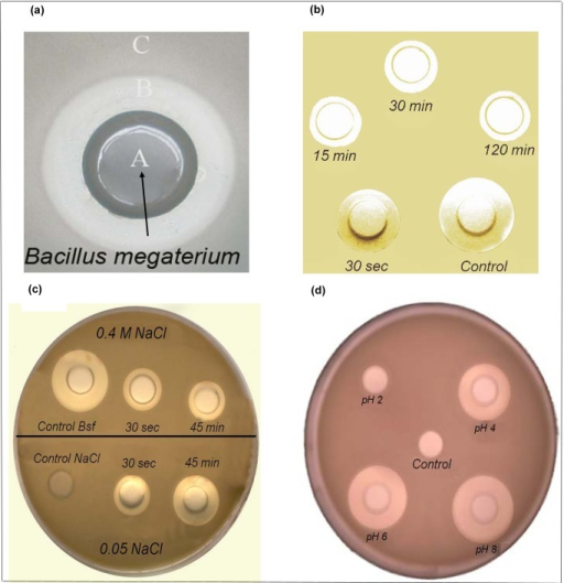 Inhibition halos and lytic activity of CLP from Bacillus megaterium pL6 against Bacillus cereus.On panel (a), the inhibition halo B against Bacillus cereus confluent layer C is induced by Bacillus megaterium pL6 cultivated inside the hole A. On panel (b), the withdrawal of the antibiotic activity produced by B. megaterium by cells of B. cereus is a function of the interaction time (50 µL of a cyclolipopeptides solution at 10 mg/mL were incubated at 37°C with 2 mL stationary cell culture of B. cereus for 15, 30 and 120 minutes before withdrawing 70 µL samples for centrifugation and determination of supernatant residual activity against B. cereus from inhibition haloes); the control was performed in the absence of B. cereus cells. On panel (c), the withdrawal of the antibiotic activity from B. cereus is seen in the presence of two different ionic strengths (0.05 and 0.4 M NaCl). Bacillus cereus cells were grown up to stationary phase, concentrated 10 times before adding 100 µL of 10 mg/mL cyclolipopeptides solution at pH 8.0 to 2 mL of the concentrated B. cereus suspension LB for 0.5 or 45 minutes interaction; thereafter mixtures were centrifuged and resuspended in water for removal of biosurfactant excess; 70 µL of the pelleted cells were resuspended in the NaCl solutions and centrifuged again before withdrawal of 60 µL of each supernatant for determining the inhibition haloes against B. cereus after incubation for 9 h at 37°C. Controls were 60 µL of the Bsf solution (10 mg/mL) or 0.4 M NaCl solution only. On panel (d), the pH of the biosurfactant solution affects the inhibition halo of B. cereus. The pH was adjusted to 2, 4, 6 and 8 by adding 1N HCl or 1N NaOH to 0.2 mL of biosurfactant solutions before loading 0.1 mL of each solution onto the holes of a Petri dish containing B. cereus; the control was 0.1 mL milli Q water adjusted to pH 2.