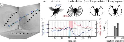 Fruit flies quickly overcome in-flight perturbations. (a) Reconstruction of a flight perturbation filmed with three high-speed cameras. Selected images are shown on the side panels, and the measured configurations of the insect (body length 2.7 mm) are displayed on the model. A black bar on the insect body highlights its pitch orientation. As the insect ascends from left to right, an impulsive magnetic field (blue arrow) induces a nose-down torque on the ferromagnetic pin glued to its back. (b) Perturbations are applied to the body pitch orientation, and the insect responds with changes to the wing-stroke angle. (c) By sweeping its wings further in front, the insect generates a nose-up corrective torque. (d) Body pitch (solid blue line) and wing-stroke (dashed red line) angles, with each quantity shifted so that the average pre-perturbation value is zero. The magnetic torque perturbation (thin blue stripe) tips the insect downwards, and the insect responds by correcting its orientation. After a reaction time of 12 ms (thick red stripe), the fly generates corrective wing motions. Each gray and white stripe denotes a wing beat, with a typical period of about 4 ms. (e) Histogram of reaction times measured in 12 perturbation experiments. (Online version in colour.)