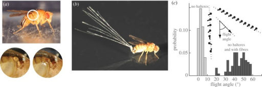 Active and passive stabilization of fruit fly flight. (a) Fruit flies use fast gyroscopic sensors called halteres to mediate flight control. Each haltere vibrates during flight and detects changes in body orientation. If glued down, the haltere no longer properly functions. (b) Dandelion seed fibres add drag to the insect body, thus increasing passive stability. (c) Inset: body orientation and flight trajectory of a fly with halteres disabled (left), showing a tumbling motion while falling downwards. When fibres are attached to a haltere-disabled insect, it is able to keep upright as it descends (right). Main figure: insects are released in air, and flight performance is assessed by measuring the trajectory angle with respect to the downward vertical. Distributions of flight angles for insects with halteres disabled (light grey) and insects with halteres disabled and with fibres attached (dark grey). (Online version in colour.)