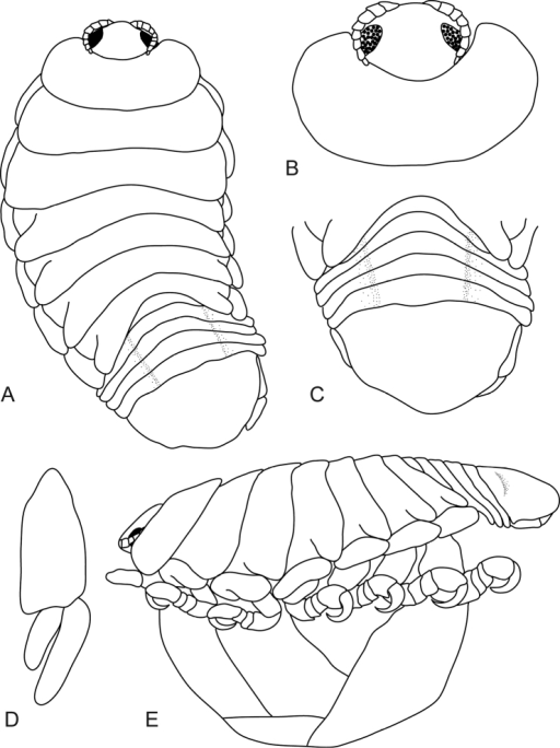 Mothocya bertlucy sp. n. ovigerous female holotype (7 mm) (AMNH_IZC 00197449): A dorsal view B anterodorsal view of pereonite 1 and cephalon C dorsal view of pleotelson D uropod E lateral view.