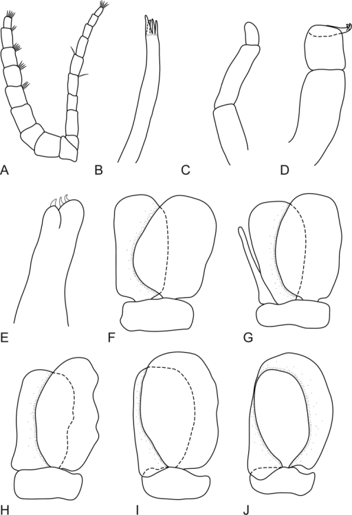 Mothocya bertlucy sp. n. male paratype (5.5 mm) (AMNH_IZC 00197450): A antennula and antenna B maxillula C molar process D maxilliped E maxilla F–J pleopod 1–5 respectively.