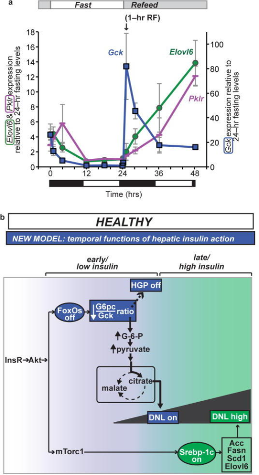 Lipogenic gene expression during F–RF in chow–fed C57BL/6J mice and proposed physiologic model (a) Comparison of Gck, Elovl6, and Pklr expression. For each gene, the 24–hr fasting time point is set equal to 1. Elovl6 and Pklr are plotted using the vertical axis on the left, and Gck is plotted using the vertical axis on the right. n = 5 per group. Black and white bars indicate the dark/light cycle. (b) Model. Earlier data suggested parallel action of insulin through FoxO to regulate HGP, and through Srebp–1c to regulate DNL. We propose a new model, whereby: insulin acts first at low levels and early time points through FoxOs to reduce HGP and initiate postprandial DNL by reducing the G6pc/Gck ratio; and second at high levels and late time points through Srebp–1c to amplify DNL.