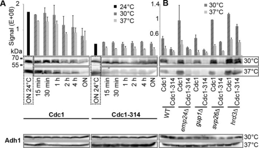 Stability of Cdc1-314 and Cdc1 proteins. (A) WT cells harboring HA-tagged Cdc1 or Cdc1-314 proteins were incubated at 24°C overnight (ON) and then shifted to 30 and 37°C for the indicated times. Thereafter cell extracts were subjected to SDS–PAGE and Western blotting using anti-HA antibodies. Adh1 was detected as a loading control. Signals of two biological replicates were averaged and normalized using the Adh1 signals and reference samples (see Materials and Methods). (B) Stability of HA-tagged Cdc1 and Cdc1-314 proteins in cells having gene deletions that were identified as suppressors. Cells were incubated overnight at 30 and 37°C before being processed as in A. Quantifications of A and B are not directly comparable, as normalizations were done only within the experiments of each panel.