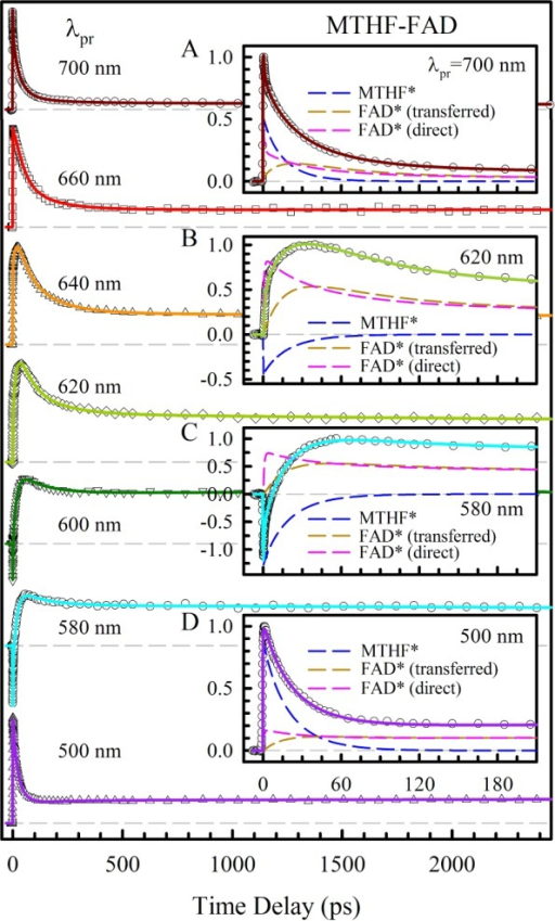 Femtosecond-resolved transient-absorption dynamics probedfrom500 to 700 nm upon excitation at 400 nm. The transients can be systematicallydeconvoluted to three contributions (insets A–D) of the excitedMTHF (dashed blue), the component resulting from the excited FAD fromRET of MTHF* (dashed dark goldenrod), and the signal from the directlyexcited FAD (dashed pink). Note the distinct rise signals reflectingthe intermediate formation through RET of MTHF* and the signal ofthe excited FAD containing its photoreduction dynamics; see the text.