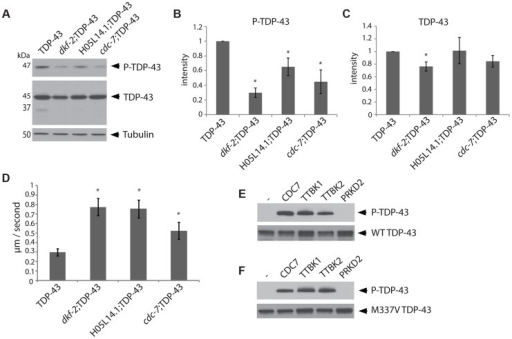 The kinases TTBK1/2 phosphorylate TDP-43 in C. elegans and in vitro.(A) Developmentally synchronized day 1 adult dkf-2(−/−);TDP-43, cdc-7(−/−);TDP-43, and H05L14.1(−/−);TDP-43 kinase mutants have decreased phosphorylated TDP-43 relative to TDP-43 transgenic animals alone. See S2 Figure for overexposure of immunoblots. Measurement of protein levels of three independent immunoblots is presented for phospho-TDP-43 (B) and total TDP-43 (C). Signal is normalized to the parental TDP-43 transgenic control strain, and graphs are plotted in arbitrary units of intensity. * P<0.05, Student's t-test relative to TDP-43 transgenic control. (D) Developmentally staged kinase mutant/TDP-43 transgenic L4 larvae exhibit significantly higher dispersal velocity relative to TDP-43 transgenic animals with intact kinase genes. Animals were measured for the linear distance traveled from a central reference point over time, N>70 for each genotype. *P<0.05 versus TDP-43. Non-transgenic animals disperse at an average velocity of 5.9 µm/second. (E) In vitro kinase assays testing the kinase activity of TTBK1, TTBK2, and PRKD2 against wild-type TDP-43 demonstrate purified TTBK1 and TTBK2 phosphorylate wild-type TDP-43, while PRKD2 does not. Immunoblots are probed with antibodies for phosphorylated (P-TDP-43) and total TDP-43. (F) In vitro kinase assays demonstrate purified TTBK1 and TTBK2 but not PRKD2 phosphorylate M337V mutant TDP-43. See S4 Figure for controls of kinase activity on known protein substrates.