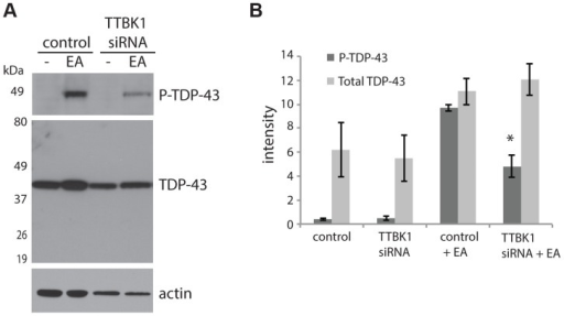 Reduced TTBK1 protects against TDP-43 phosphorylation.(A) NSC-34 cells treated with siRNA targeting TTBK1 exhibit reduced TDP-43 phosphorylation following induction of P-TDP-43 with ethacrynic acid (EA). (B) Quantitative analysis of band intensities from three independent replicate siRNA experiments. Band intensities are graphed in arbitrary units. *P = 0.025 versus control+EA, Student's t-test.