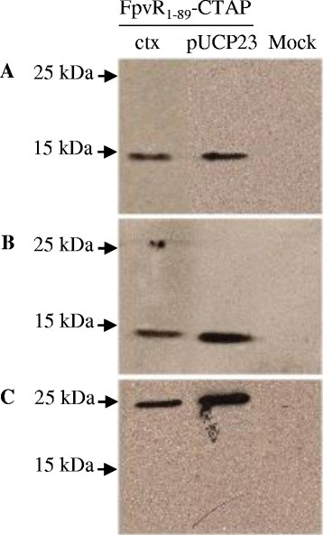 Co-purification of PvdS with FpvR1–89–TAP fromP. aeruginosa. Soluble protein was prepared from P. aeruginosa PAO1 fpvR expressing plasmid-borne (pUCP23) or chromosomally-integrated (ctx) FpvR1–89 fused to a C-terminal TAP tag. Protein was purified using the TAP protocol and the purified protein analyzed by Western blotting for FpvR1–89-CBP or PvdS. (A) anti-CBP; (B) anti-FpvR; (C) anti-PvdS. A mock purification was carried out with P. aeruginosa PAO1 fpvR carrying pUCP23 without the fpvR1–89-TAP fusion as a negative control for the TAP tag purification procedure. The positions of molecular weight markers are shown.