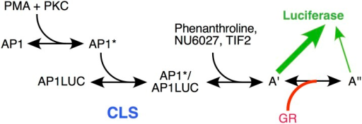 "Predicted reaction scheme of PMA induction of Luciferase activity from synthetic reporter (AP1LUC) by AP1 that is repressed by steroid-bound receptor (GR).The position of the CLS, and positions of action of TIF2, NU6027, phenanthroline, and GR, as determined by the data of Figs. 3–5, are indicated. A' and A"" represent unknown, post-CLS steps, each of which can lead to Luciferase activity but the efficiency from A"" is much less than A'."