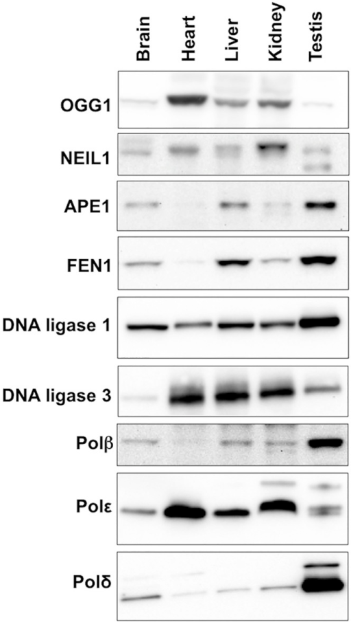 "Expression of various BER proteins in different mouse organs.Total protein was extracted from different organs of 3 different FXD mice as described in the Materials and Methods. Since in our experience proteins used as ""normalizing controls"" including β-actin and α-tubulin and GAPDH differ significantly in different organs, we took care to analyze equal amounts of protein as assessed by the Bradford Assay. Ten micrograms of protein from the organs of each animal were pooled and loaded onto 3–8% Tris-Acetate gels, resolved by gel electrophoresis and subjected to Western blotting as described in the Materials and Methods."