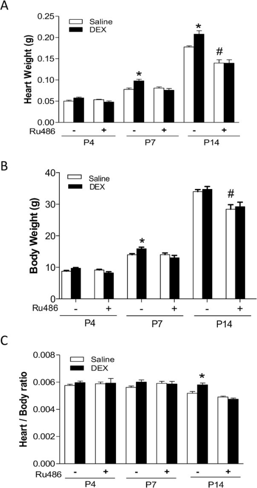 Effect of dexamethasone (DEX) on heart development in neonatal rats.Newborn rats were treated with tapered dose of DEX in the absence or presence of Ru486 during the first three days of postnatal life. Ru486 was administered 30 minutes prior to the DEX treatment. Heart and body weights were determined in day 4 (P4), day 7 (P7) and day 14 (P14) neonatal rats. Data are mean ± SEM, n = 10–21. * p<0.05, DEX vs. Saline; # p<0.05, +Ru486 vs.-Ru486.