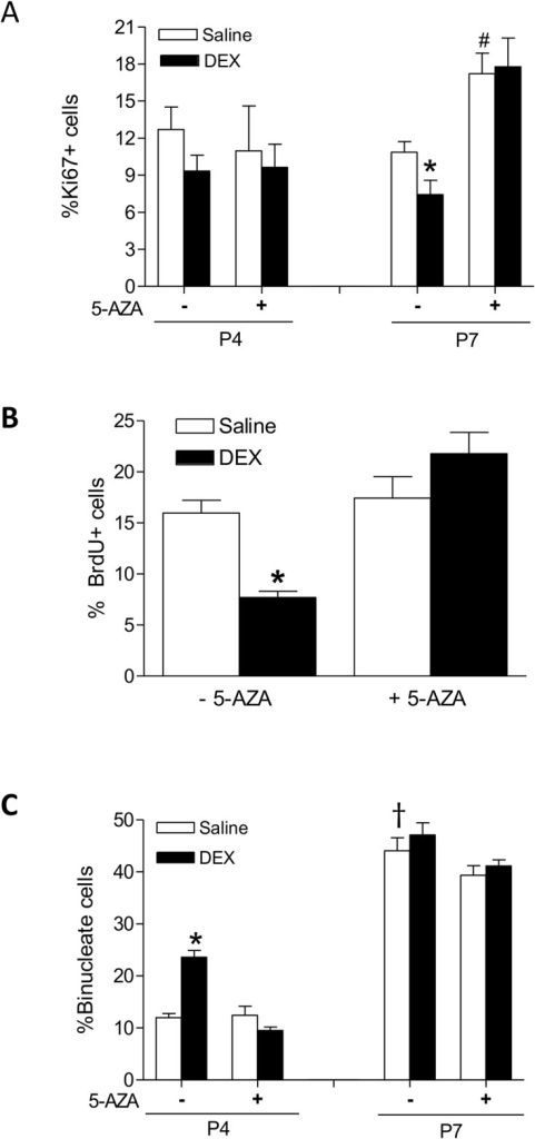 5-AZA blocks dexamethasone (DEX)-induced effects on cardiomyocyte proliferation and binucleation in neonatal rats.Newborn rats were treated with tapered dose of DEX in the absence or presence of 5-AZA during the first three days of postnatal life. 5-AZA was administered 30 minutes prior to the DEX treatment. Panel A: Cardiomyocytes isolated from day 4 (P4) and day 7 (P7) neonatal hearts were double stained with α-actinin and Ki67, nuclei were stained with Hoechst. Panel B: Cardiomyocytes isolated from P7 neonatal hearts were examined for BrdU incorporation. Panel C: Cardiomyocytes isolated from P4 and P7 neonatal hearts were stained with α-actinin and Hoechst, and mononucleated and binucleated cells were determined. Data are mean ± SEM, n = 4–14. * p<0.05, DEX vs. Saline; # p<0.05, +5-AZA vs. -5-AZA; † p<0.05, P7 vs. P4.
