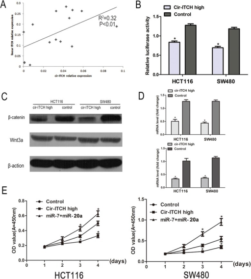 cir-ITCH involves in the regulation Wnt/b-catenin signaling pathway in vivo.(A) The linear correlations between the cir-ITCH expression levels and linear ITCH were tested. The relative expression value was normalized by GAPDH expression level. (B) A TCF luciferase reporter assay was performed. The luciferase activity was normalized to the Renilla luciferase activity. (C) The protein levels of Wnt3a and β-catenin was assessed in CRC cells (HCT116 cells and SW480 cells) by Western blot. (D) The mRNA level of c-myc and cyclinD1was detected by quantitative RT-PCR after transfected with cir-ITCH or Control cells in CRC cells. (the upper is c-myc and the lower is cyclinD1) Data are mean±SEM and representative of three independent experiments. (E) HCT116 and SW480 cells were seeded in 96-well plates after been transfected, and cell proliferation was performed daily for 3 days using the CCK-8 assay. Six replicates for each group and the experiment repeated three times. Data are mean±SEM. *P<0.05 compared with controls.