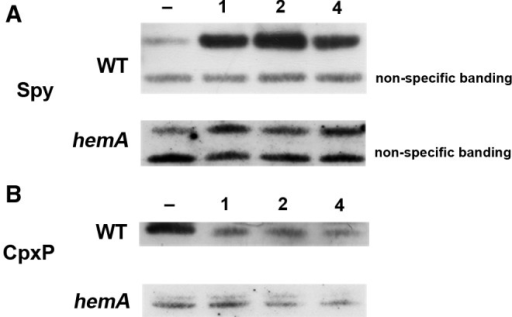 Levels of Spy and CpxP protein are altered in response to CORM-3 in wild-type andhemAcells. Western blotting of subcellular fractions was carried out in the absence and presence of 20 μM CORM-3. (A) A typical Western blot is shown in the absence of CORM-3 (lane 1), or with 1, 2, or 4 h of incubation for wild-type or hemA cells with anti-Spy and (B) anti-CpxP. Bands of nonspecific binding of antibody are shown to demonstrate equal loading of protein in each lane.