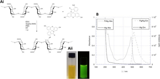 Synthesis of FITC alginate.(Ai) Reaction coupling scheme of FITC onto alginate under peptide coupling conditions. (Aii) Image of fluorescent alginate in normal light (left) and exposed to λ = 365 nm UV light (right). (B) Absorption and emission (red and blue lines respectively) spectra of the fluorescent alginate (FlAlg) product. The native alginate reactant has no absorption or emission profile, however, upon conjugation with FITC a highly absorption and emission peaks are observed.